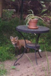 Fuchsbaby in einem Garten Am Stadtpark I